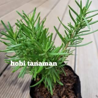 Unduh 510 Gambar Bunga Rosemary HD Terbaru
