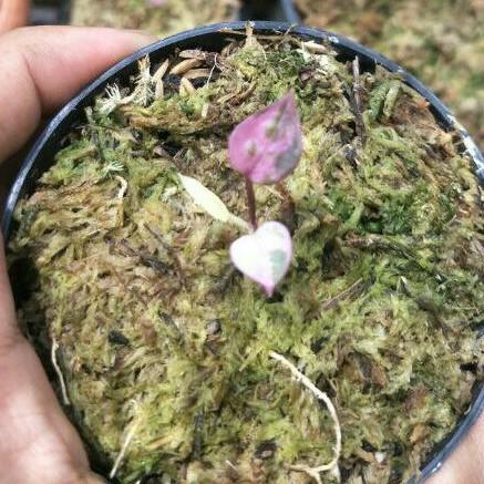 Anthurium hokeri varigata pink (bibit)