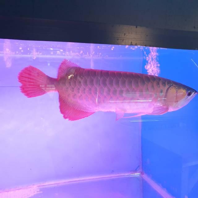 Ikan arwana super red mewah