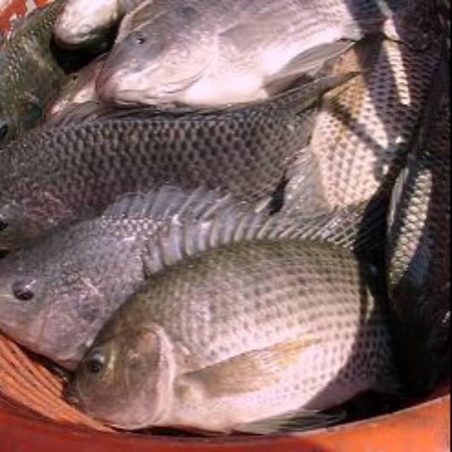 Ikan Nila Atau Mujair Nirwana Hidup 1 Kg Isi 2 4 Ekor Shopee Indonesia