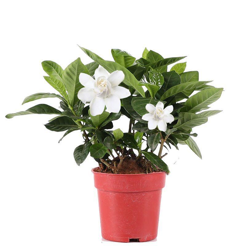 Tanaman Bunga Gardenia Dengan Pot Ukuran Kecil Untuk Dalam Ruangan Shopee Indonesia