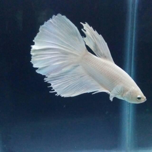 Ikan Cupang Halfmoon Putih White Opaque Platinum Jantan Male Shopee Indonesia