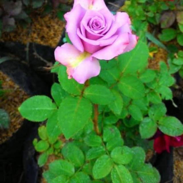 Bibit Tanaman Bunga Mawar Ungu Pohon Bunga Mawar Ungu Sudah Berbunga Shopee Indonesia