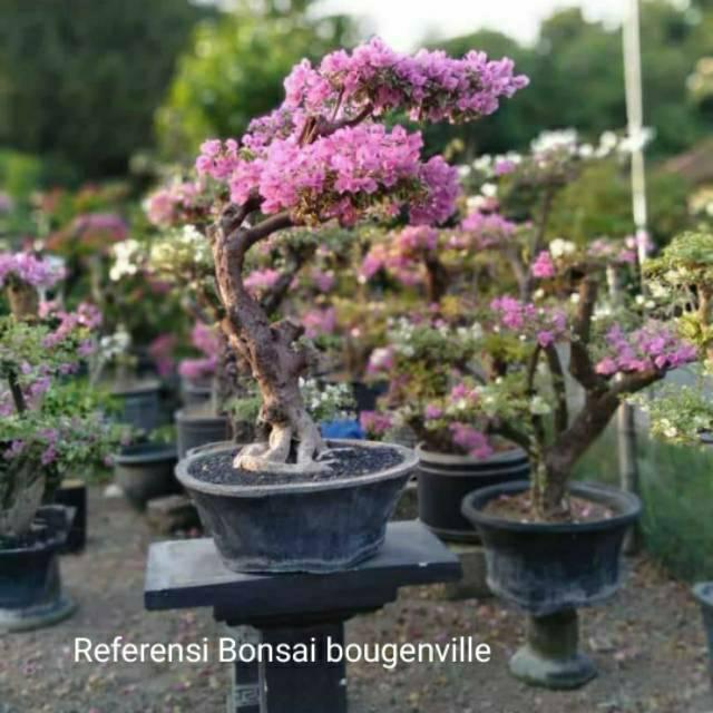 Stek Batang Bonggol Bibit Bonsai Bunga Kertas Bougenville Bogenville Ungu Mikro Shopee Indonesia