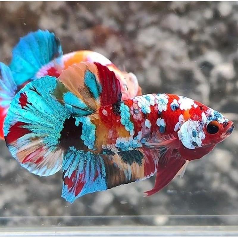 Cupang Hias Multicolour Nemo Galaxy Koi Red Koi Fancy Hellboy Shopee Indonesia