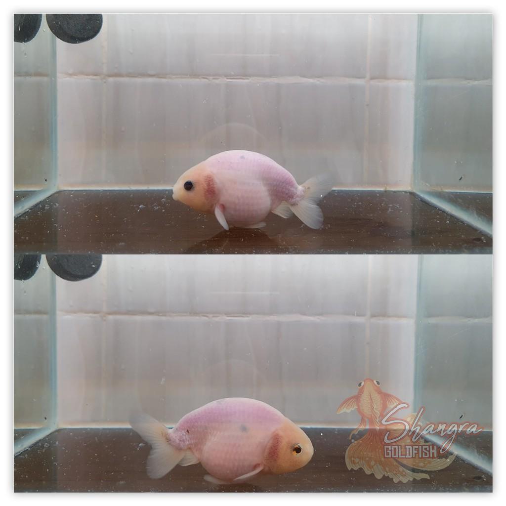 Ikan Mas Koki Ranchu White - Sapi - 001