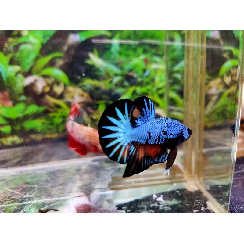 Ikan Cupang Avatar Nemo Baby Shopee Indonesia