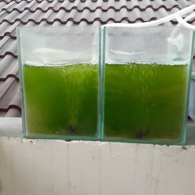 Cara kultur kutu air,chlorella green water untuk kultur kutu air dan daphnia magna cupang