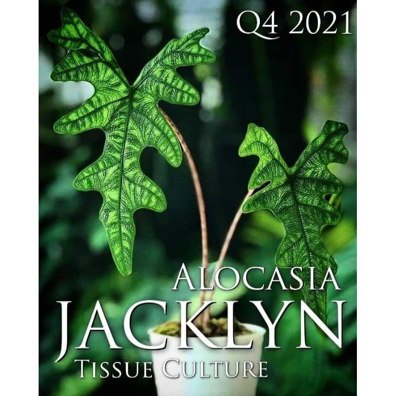 tanaman hias alocasia tandurusa - alocasia jacklyn - alocasia