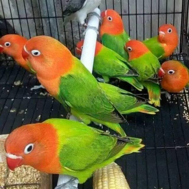 Burung Lovebird Biola Green Shopee Indonesia