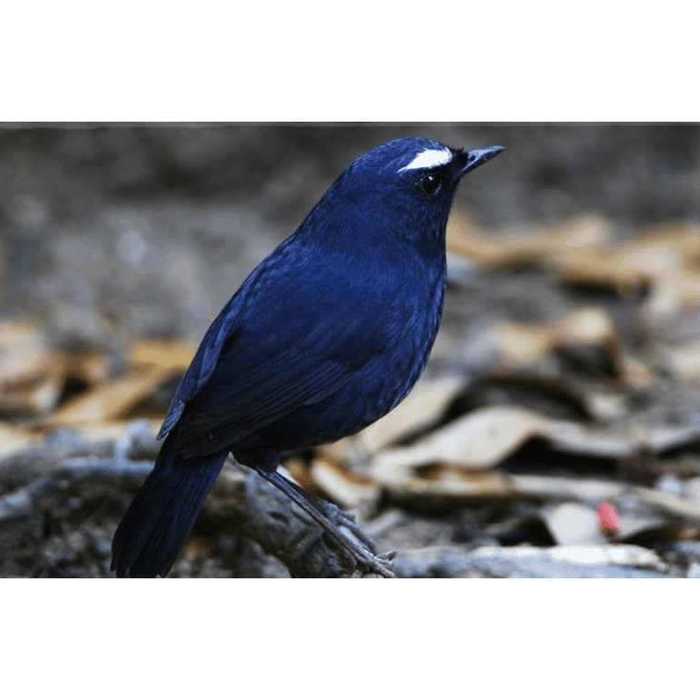 Burung Cingcoang Bintang Shopee Indonesia