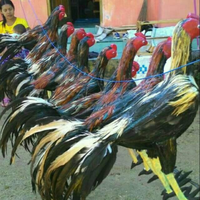 88 Gambar Lucu Ayam Bangkok Kekinian