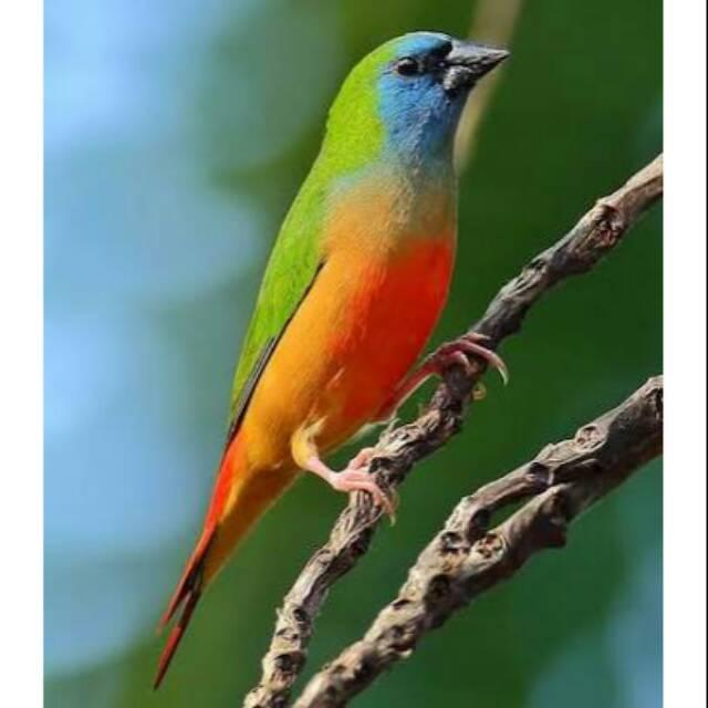 Burung Pipit Emprit Finch Bondol Hijau Binglis Sepasang Shopee Indonesia