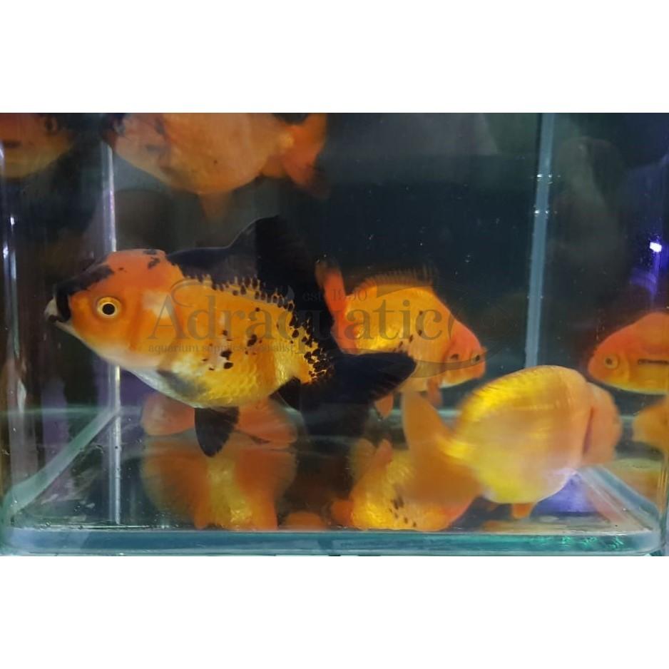 Bandung Ikan Hias Koki Ranchu Goldfish Air Tawar Shopee Indonesia