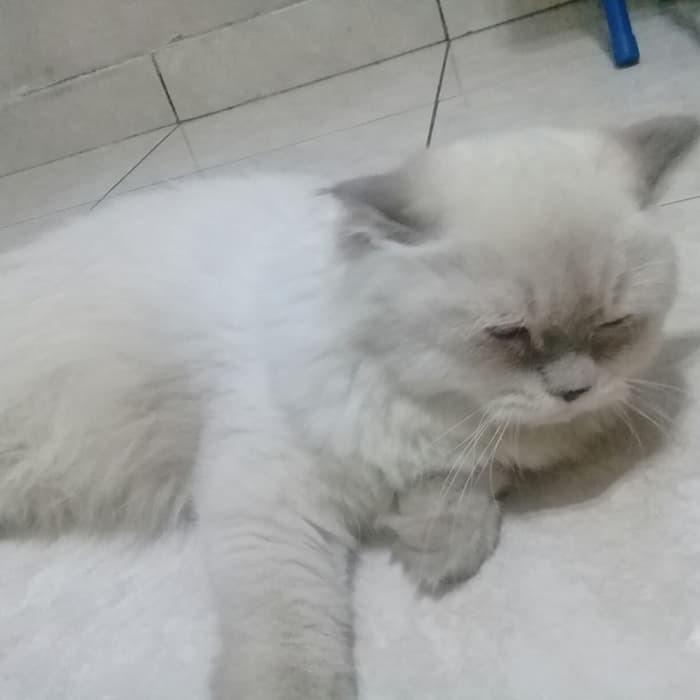 Download 94+  Gambar Kucing Anggora Warna Abu Abu Terbaru Gratis
