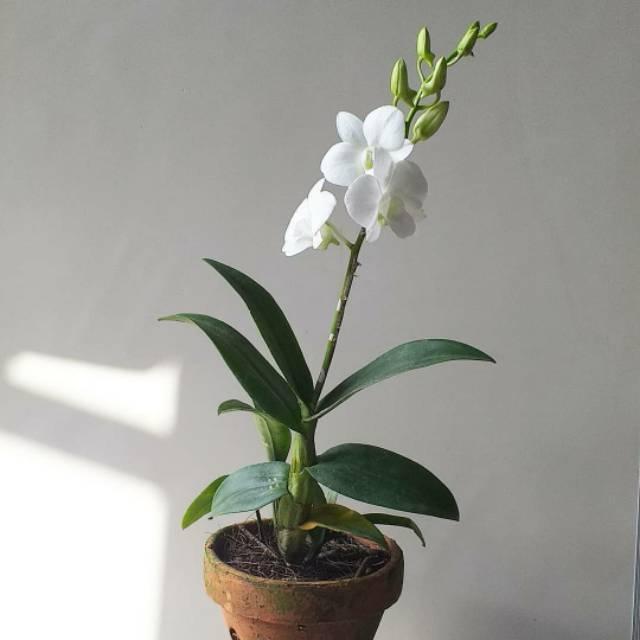Bunga Anggrek Dendrobium Asli Hidup Shopee Indonesia