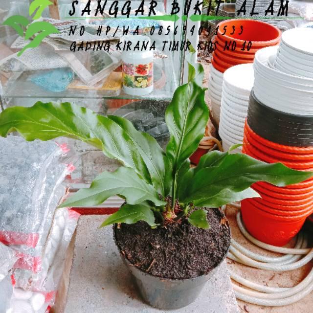 Tanaman Hias Bunga Gelombang Cinta Anthurium Plowmanii Pot Shopee Indonesia
