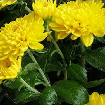 Tanaman Bunga Krisan Kuning Shopee Indonesia