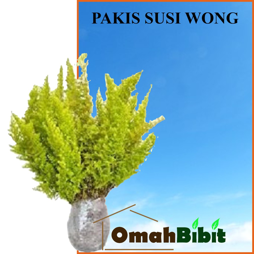 Tanaman Pakis Susi Wong Shopee Indonesia Fisiden Moss Lempeng Air Aquascape Super