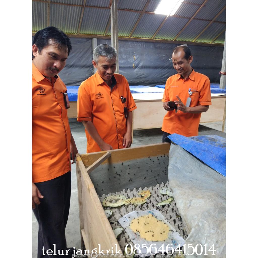 Telur Jangkrik Genggong Shopee Indonesia