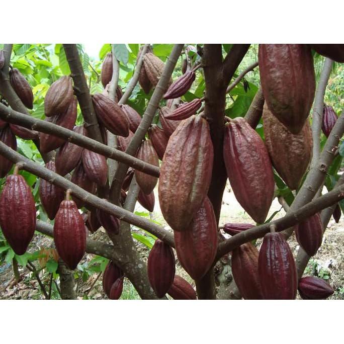 Benih Coklat Kakao Seed Tanam Pohon Coklat Milikmu Sendiri Shopee Indonesia