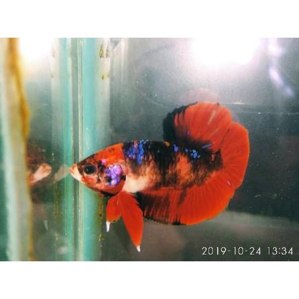 Ikan Cupang Plakat Avatar Gordon Kode H9297 Shopee Indonesia