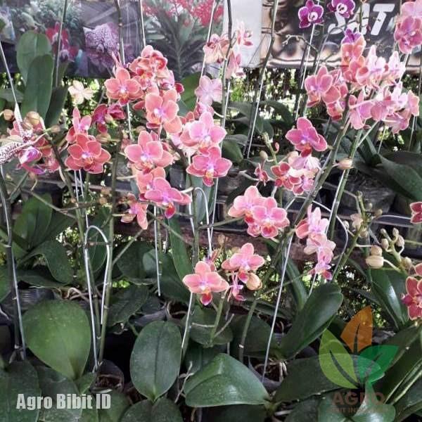 Tanaman Bunga Anggrek Bulan Mini Pink Shopee Indonesia