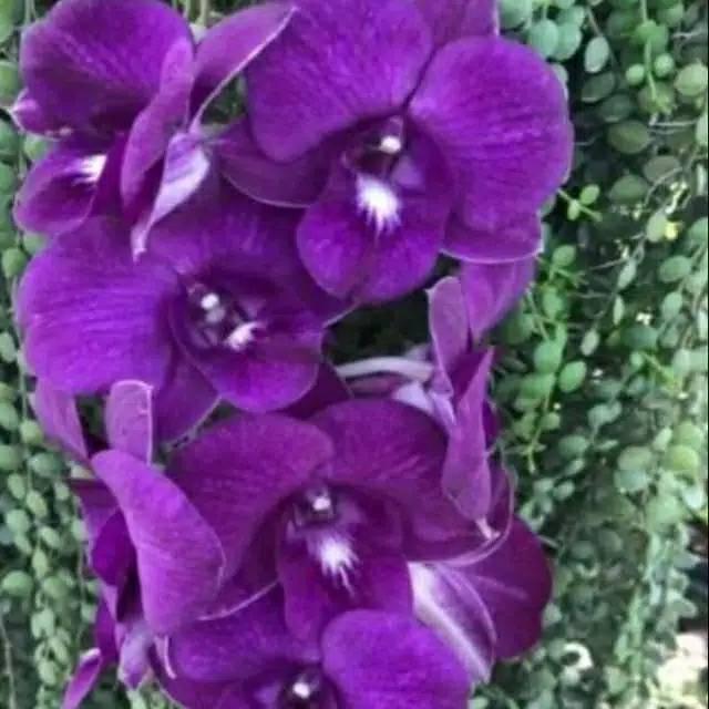 Anggrek Dendrobium Mored Thailand Tanaman Hias Anggrek Dendrobium Mored X Thailand Bunga Anggrek Shopee Indonesia