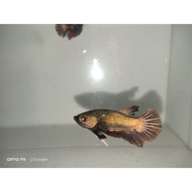 ikan cupang avatar copper gold sepasang