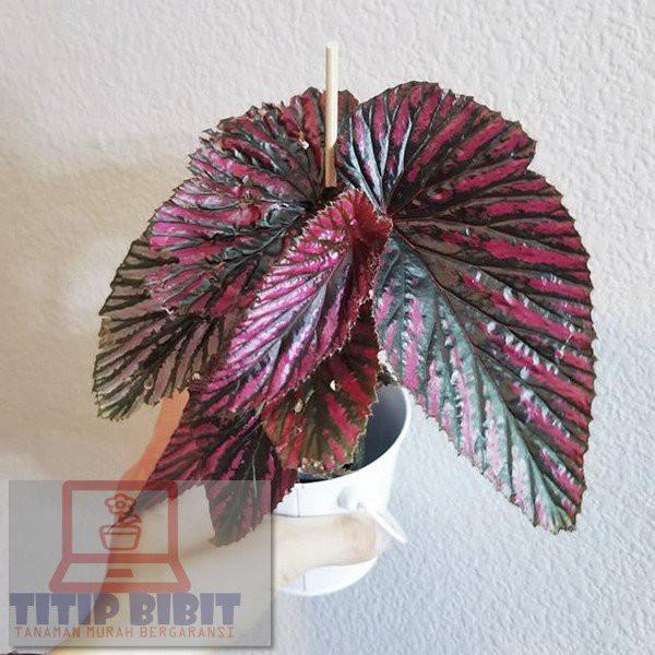 Tanaman hias Begonia rex walet/ Bibit tanaman begonia rex walet
