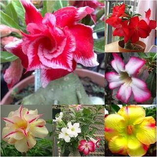 7000 Gambar Bunga Adenium  Paling Baru