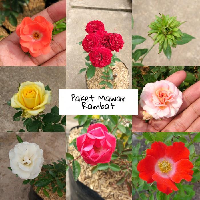 mawar rambat - Temukan Harga dan Penawaran Taman Online Terbaik -  Perlengkapan Rumah Februari 2019  4e4cd3b80a