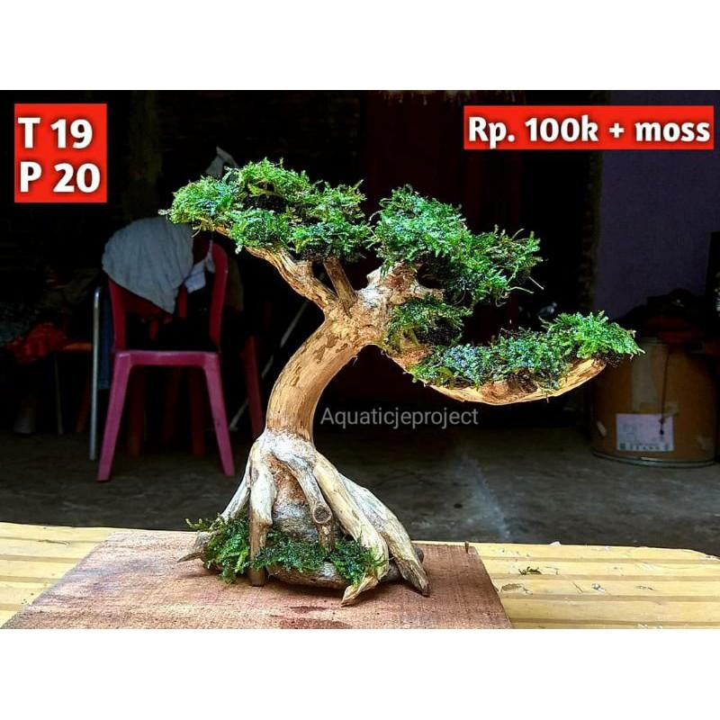 Ready Bonsai Aquascape Murah Bonus Moss Shopee Indonesia