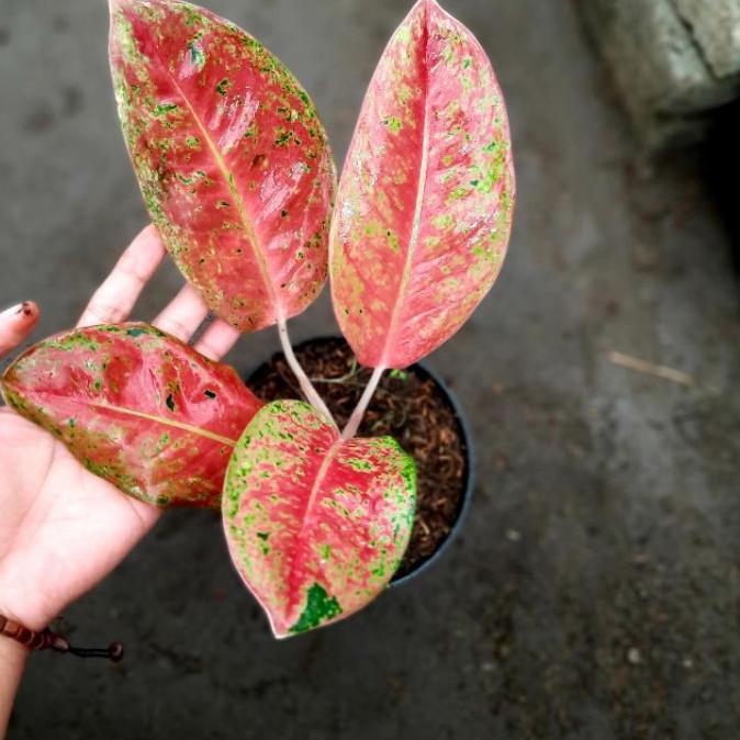 Promo** Aglaonema Big roy Merah Mutasi ( Tanaman Hias Aglonema bigroy merah murah ) .,..,.,.,.