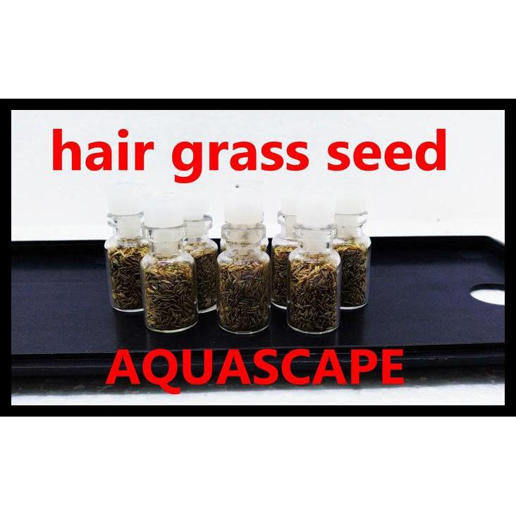 Bibit benih tanaman air mini HAIR GRASS seed aquascape aquarium MURAH | Shopee Indonesia