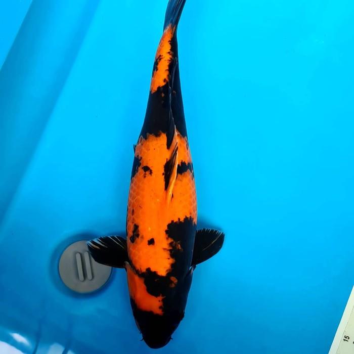 KOI Ikan koi import Hiutsuri shinoda