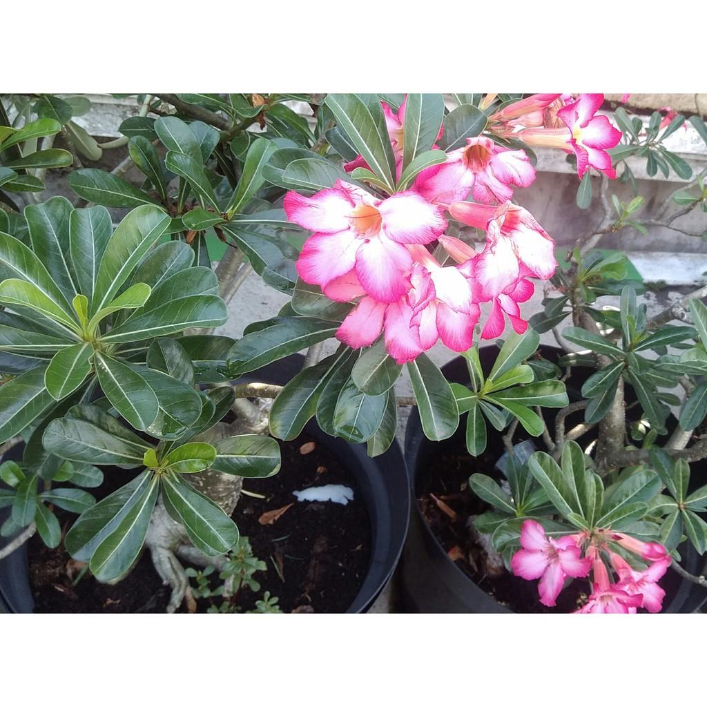 Bunga Kamboja Jepang Adenium Minimal Order 2 Pohon Shopee Indonesia