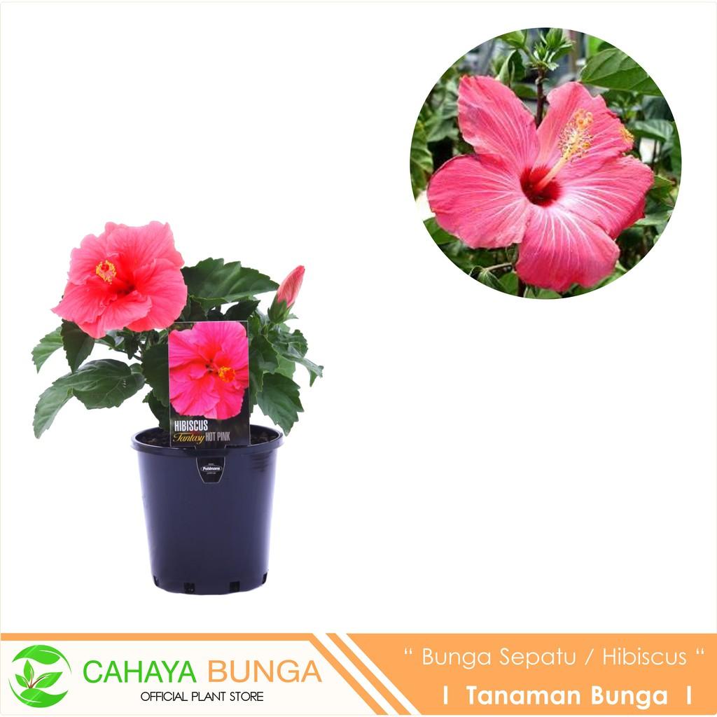 Jual Tanaman Hias Bunga Sepatu Kembang Sepatu Hibiscus Hibiscus Rosa Sinensis L Sinox Nursery