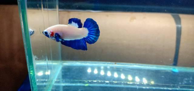 Paket 1 Pasang Ikan Cupang Blue Rim Ori Thailand Jantan Betina Shopee Indonesia