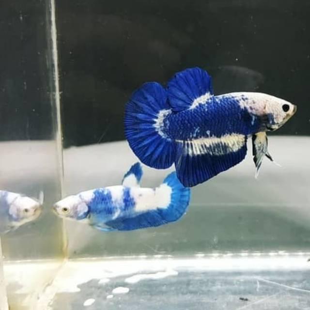 Ikan Cupang Blue Panda Blue Rim Sepasang Shopee Indonesia