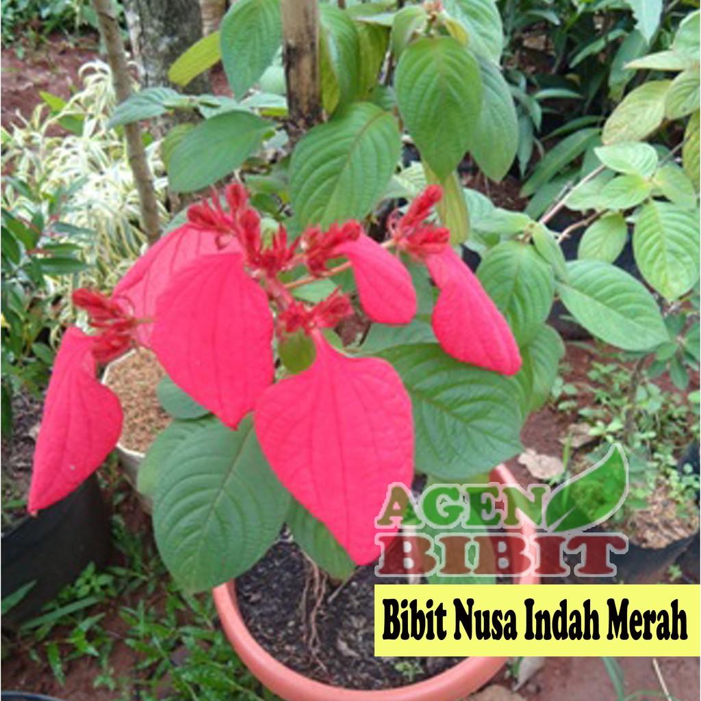 Bibit Bunga Nusa Indah Merah Tanaman Pohon Hias Outdoor Mussaenda Shopee Indonesia