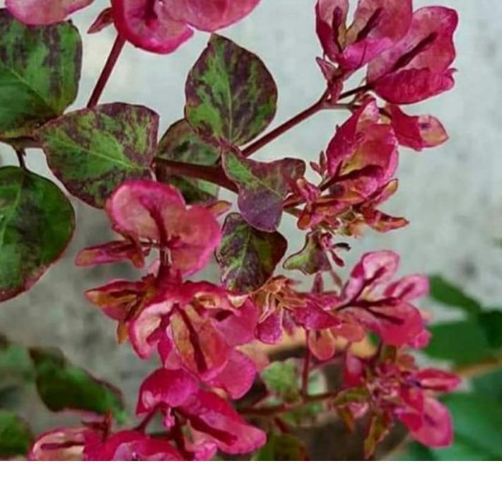 BARU bunga bougenville id Black maria .. .. ..