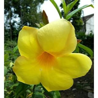 Tanaman Hias Bunga Alamanda Kuning Shopee Indonesia