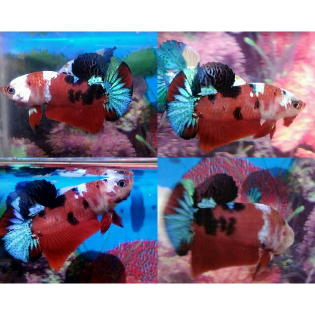 Ikan Cupang Koi Galaxy Multicolor Grade A Shopee Indonesia