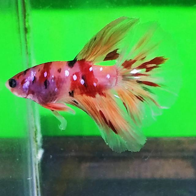 Ikan Cupang Hm Nemo Galaxy Shopee Indonesia
