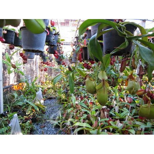 Bibit Tanaman Hias Kantong Semar Nepenthes Mix Shopee Indonesia