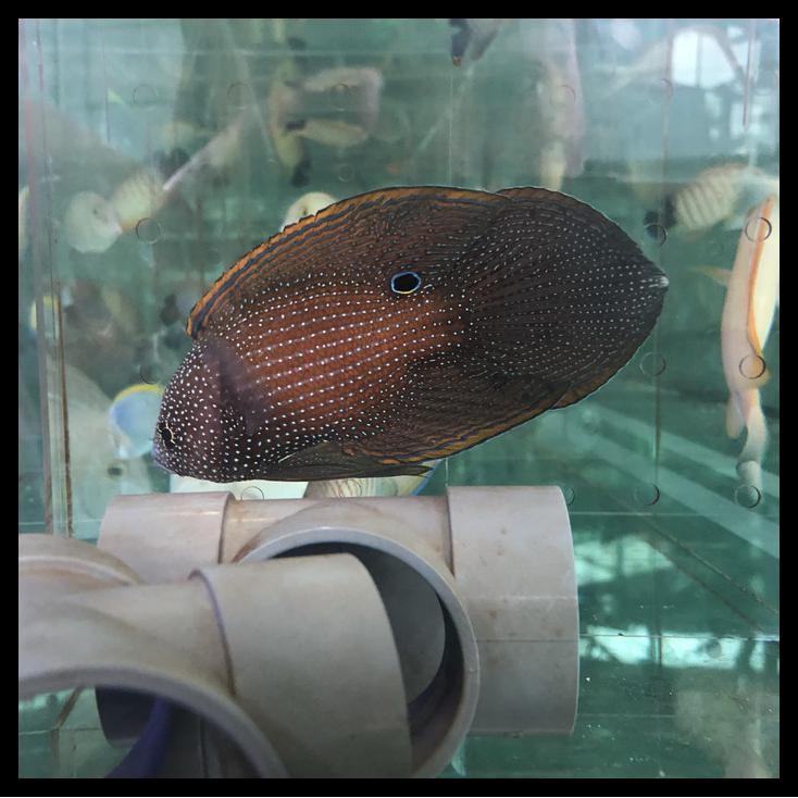 Ikan Hias Laut Cupang Laut / Marine Betta