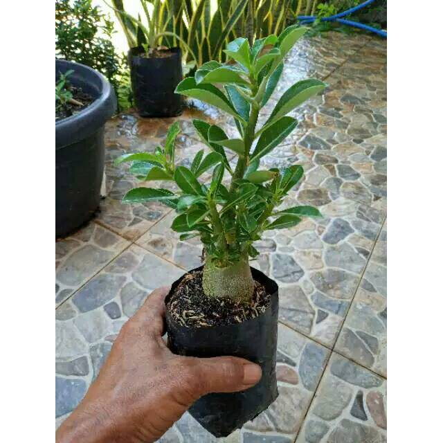 BONSAI ADENIUM ARABICUM-bibit tanaman bonsai adenium arabicum ..
