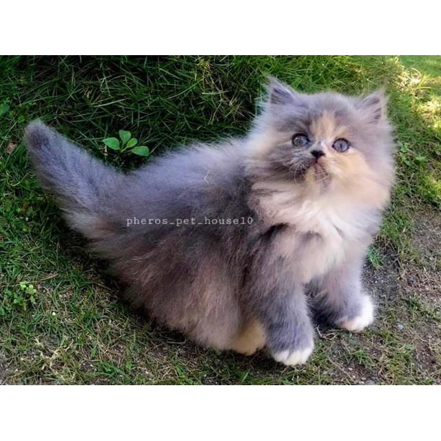 Kucing Persia Calico Dilute Pheros Pet House10 Pherospethouse Shopee Indonesia