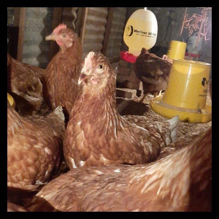 Gold Coin 105 Pakan Pur Ayam Petelur Bermutu
